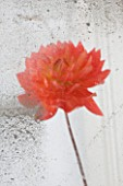JACKY HOBBS HOUSE  LONDON: DAHLIA APRICOT DESIRE  REFLECTED IN AN OLD MIRROR