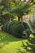 SALING HALL  ESSEX: BOX TOPIARY BESIDE THE TENNIS COURT
