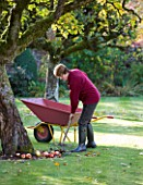 SALING HALL  ESSEX: GARDENER AILEEN CLEARING UP APPLES IN THE WALLED GARDEN