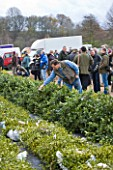 HOLLY AND MISTLETOE AUCTION  TENBURY WELLS  WORCESTERSHIRE