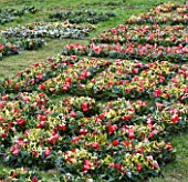 HOLLY AND MISTLETOE AUCTION  TENBURY WELLS  WORCESTERSHIRE - HOLLY WREATHS LAID OUT ON GRASS