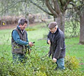 MISTLETOE BEING HARVESTED NEAR TENBURY WELLS  WORCESTERSHIRE - MICHAEL ADAMS (RIGHT) AND ROB MAPP TIE THE HARVESTED MISTLETOE INTO LARGE BUNDLES MAKING IT EASIER TO TRANSPORT