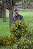 MISTLETOE BEING HARVESTED NEAR TENBURY WELLS  WORCESTERSHIRE - ROB MAPP TIES THE HARVESTED MISTLETOE INTO LARGE BUNDLES MAKING IT EASIER TO TRANSPORT