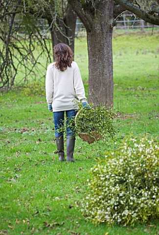 MISTLETOE_BEING_HARVESTED_NEAR_TENBURY_WELLS__WORCESTERSHIRE__GIRL_HOLDING_BUNCH_OF_MISTLETOE