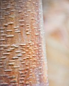 CAMBRIDGE BOTANIC GARDEN  CAMBRIDGESHIRE: WINTER - BARK OF BETULA ALBOSINENSIS VAR SEPTRIONALIS