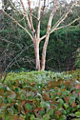 CAMBRIDGE BOTANIC GARDEN  CAMBRIDGESHIRE: WINTER - BETULA ALBOSINENSIS VAR SEPTRIONALIS WITH BERGENIA SUNNINGDALE