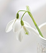 CLOSE UP OF SNOWDROP- GALANTHUS MRS THOMPSON IN A WHITE CONTAINER : STYLING BY JACKY HOBBS