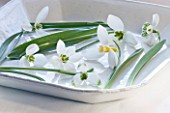 SNOWDROPS IN A WHITE DISH - LEFT TO RIGHT - GALANTHUS GRACILIS  ALLENII  GODFREY OWEN  GREENFINCH   RONALD MACKENZIE  DIGGORY  LADY FAIRHAVEN : STYLING BY JACKY HOBBS
