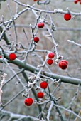 FROSTED WINTER FRUITS OF MALUS SIEBOLDII TORINGO