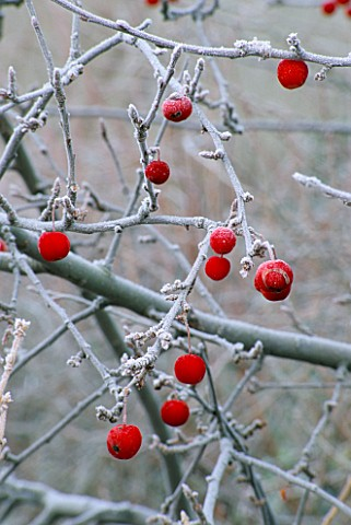 FROSTED_WINTER_FRUITS_OF_MALUS_SIEBOLDII_TORINGO