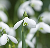 CLOSE UP OF FLOWER OF SNOWDROP - GALANTHUS S ARNOTT . GALANTHUS GROWN BY RONALD MACKENZIE. BULB  WINTER