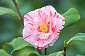 TREHANE NURSERY  DORSET: CLOSE UP OF THE FLOWER OF CAMELLIA BETTY FOY SANDERS