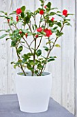TREHANE NURSERY  DORSET: THE RED FLOWERS OF CAMELLIA JAPONICA BOBS TINSIE GROWING IN A CONTAINER