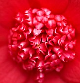 TREHANE NURSERY  DORSET: CLOSE UP OF THE CENTRE OF THE RED FLOWER OF CAMELLIA JAPONICA BOBS TINSIE