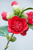 TREHANE NURSERY  DORSET: CLOSE UP OF THE RED FLOWER OF CAMELLIA JAPONICA BOBS TINSIE