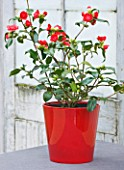 TREHANE NURSERY  DORSET: CAMELLIA JAPONICA BOBS TINSIE IN A RED GLAZED CONTAINER