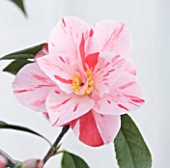 TREHANE NURSERY  DORSET: CLOSE UP OF THE FLOWER OF CAMELLIA JAPONICA HARU NO UTENA