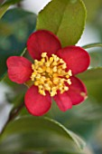 TREHANE NURSERY  DORSET: CLOSE UP OF THE RED FLOWER OF CAMELLIA X VERNALIS YULETIDE