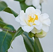 TREHANE NURSERY  DORSET: CLOSE UP OF THE FLOWER OF CAMELLIA JAPONICA SILVER ANNIVERSARY