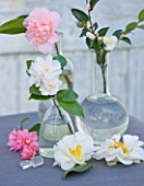 TREHANE NURSERY  DORSET: TABLE ARRANGEMENT IN GLASS BOTTLES OF CAMELLIAS INCLUDING SILVER ANNIVERSARY  TONI FINLAYS FRAGRANT AND TRANSNOKOENSIS