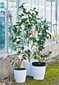 TREHANE NURSERY  DORSET: CLOSE UP OF THE FLOWER OF CAMELLIA - CONTAINERS BESIDE THE GLASSHOUSE PLANTED WITH CAMELLIAS SILVER ANNIVERSARY   OO-LA-LA AND BOWEN BRYANT