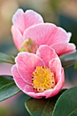TREHANE NURSERY  DORSET: CLOSE UP OF THE PINK FLOWER OF CAMELLIA JAPONICA ADELINA PATTI