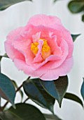 TREHANE NURSERY  DORSET: CLOSE UP OF THE FLOWER OF CAMELLIA LASCA BEAUTY