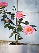 TREHANE NURSERY  DORSET: CONTAINER PLANTED WITH CAMELLIA LASCA BEAUTY