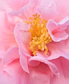 TREHANE NURSERY  DORSET: CLOSE UP OF THE PINK FLOWER OF CAMELLIA RETICULTATA  X JAPONICA LASCA BEAUTY