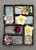HARVEYS GARDEN PLANTS  SUFFOLK: METAL TRAYS WITH SELECTION OF HELLEBORES