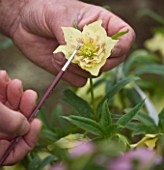HARVEYS GARDEN PLANTS  SUFFOLK: ROGER HARVEY HAND POLLINATES - TRANSFERRING POLLEN FROM SELECTED PARENT PLANT TO RECIPIENT MOTHER PLANT. HELLEBORUS HYBRID DOUBLE YELLOW