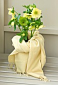 HARVEYS GARDEN PLANTS  SUFFOLK: SCARF WRAPPED HELLEBORES IN CONTAINER ON WINDOWSILL - HELLEBORUS HYBRIDUS BARDFIELD YELLOW