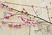 FORDE ABBEY  SOMERSET: CONSERVATORY/ GREENHOUSE WITH FAN TRAINED FRUIT TREES WITH SPRING BLOSSOM/ FLOWERS AGAINST THE WALL - PEACH BLOSSOM - PRUNUS PERSICA  CHERRY
