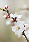 FORDE ABBEY  SOMERSET: CONSERVATORY/ GREENHOUSE - CLOSE UP OF THE WHITE  FLOWERS OF APRICOT BLOSSOM - PRUNUS ARMENIACA IN EARLY SPRING