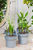 PETERSHAM NURSERIES  RICHMOND  SURREY: METAL CONTAINERS WITH WHITE FLOWERS OF CONVALLARIA MAJALIS ON TABLE - LILY OF THE VALLEY. SCENTED