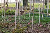 RAGLEY HALL  WARWICKSHIRE: THE WINTER GARDEN WITH PATH  BETULA UTILIS JACQUEMONTII DOORENBOS  HYACINTH PINK PEARL AND MUSCARI ARMENIACUM