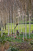 RAGLEY HALL  WARWICKSHIRE: THE WINTER GARDEN WITH BETULA UTILIS JACQUEMONTII DOORENBOS  HYACINTH PINK PEARL AND MUSCARI ARMENIACUM