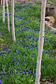 RAGLEY HALL  WARWICKSHIRE: THE WINTER GARDEN WITH PATH  BETULA UTILIS JACQUEMONTII DOORENBOS AND MUSCARI ARMENIACUM