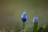 RAGLEY HALL  WARWICKSHIRE: THE WINTER GARDEN WITH PALE BLUE FLOWERS OF MUSCARI AZUREUM