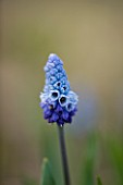 RAGLEY HALL  WARWICKSHIRE: THE WINTER GARDEN WITH PALE BLUE FLOWER OF MUSCARI AZUREUM
