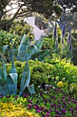 HERM ISLAND  CHANNEL ISLANDS - BORDER WITH AGAVES  EUPHORBIA AND ECHIUM PINNIANA