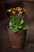 W & S LOCKYER AURICULA NURSERY -  AURICULA VERA IN TERRACOTTA CONTAINER IN POTTING SHED