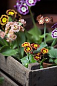 W & S LOCKYER AURICULA NURSERY -  AURICULAS IN A WOODEN CRATE CONTAINER IN POTTING SHED - LEFT TO RIGHT FROM BACK TO FRONT - GAZZA  SUMO  SHAUN  BROWNIE  VERA  STELLA