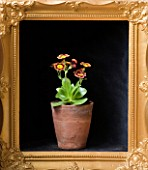 W & S LOCKYER AURICULA NURSERY -  AURICULA VERA IN TERRACOTTA CONTAINER IN SIDE A GOLD PICTURE FRAME