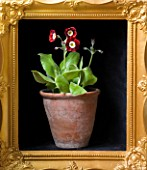 W & S LOCKYER AURICULA NURSERY -  PRIMULA AURICULA  DALES RED  - BORDER TYPE - IN TERRACOTTA CONTAINER IN SIDE A GOLD PICTURE FRAME