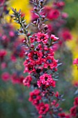 GRANGE COURT  GUERNSEY: CLOSE UP OF FLOWERS OF LEPTOSPERMUM SCOPARIUM RED DAMASK AGM