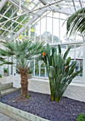 GRANGE COURT  GUERNSEY: RESTORED GLASSHOUSE WITH TRACHYCARPUS FORTUNEI AND STRELITZIA