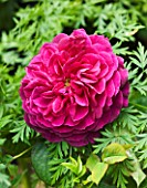 DESIGNER BUTTER WAKEFIELD  LONDON: CLOSE UP OF THE PINK FLOWER OF ROSE - ROSA YOUNG LYCIDAS - DAVID AUSTIN ROSE