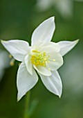 DESIGNER BUTTER WAKEFIELD  LONDON: CLOSE UP OF THE WHITE FLOWER OF AQUILEGIA WHITE STAR