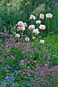NYMANS  SUSSEX. THE NATIONAL TRUST: ASTRANTIA ROMA  AND POPPIES IN THE HERBACEOUS BORDER- EVENING LIGHT  JUNE